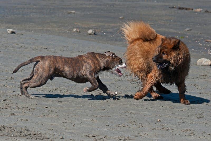 Honden die op het strand vechten royalty-vrije stock afbeeldingen