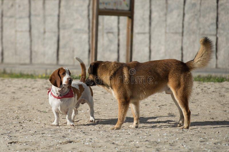 Honden die op het zand spelen royalty-vrije stock afbeeldingen