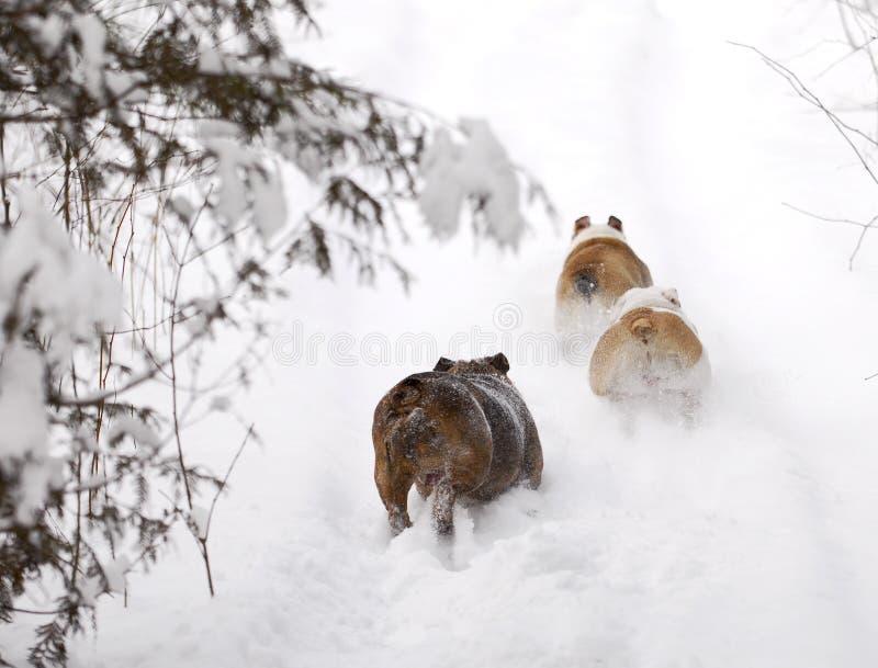 Honden die in sneeuw lopen stock afbeelding