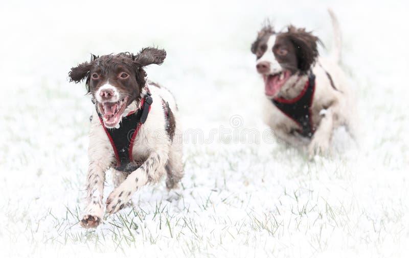 Honden die in sneeuw lopen stock foto