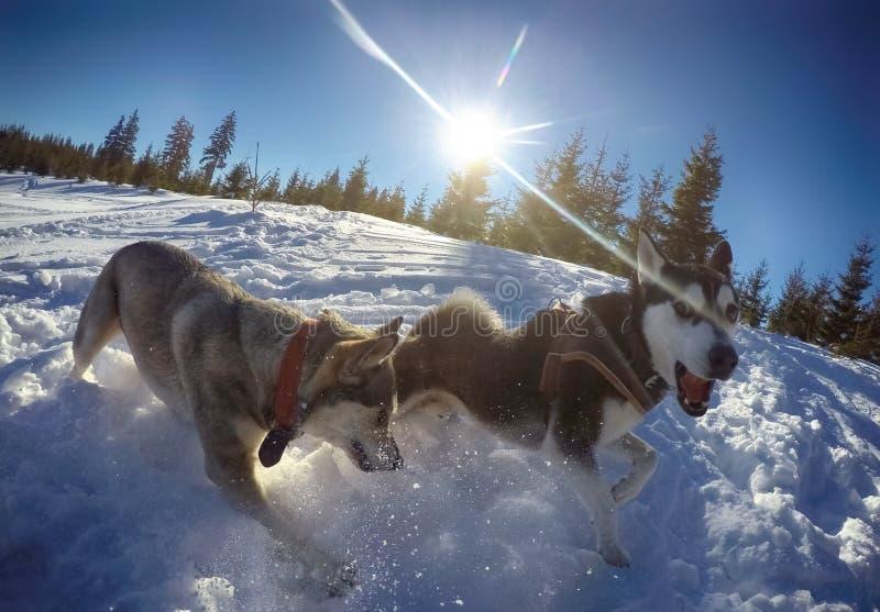 Honden die in Sneeuw spelen stock foto