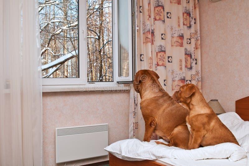 Honden die uit het venster kijken royalty-vrije stock fotografie
