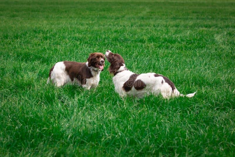 Honden die weide bevinden zich Men kijkt omhoog in de hemel royalty-vrije stock afbeelding