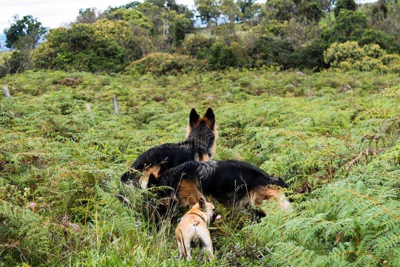 3 honden in een prairie stock afbeelding