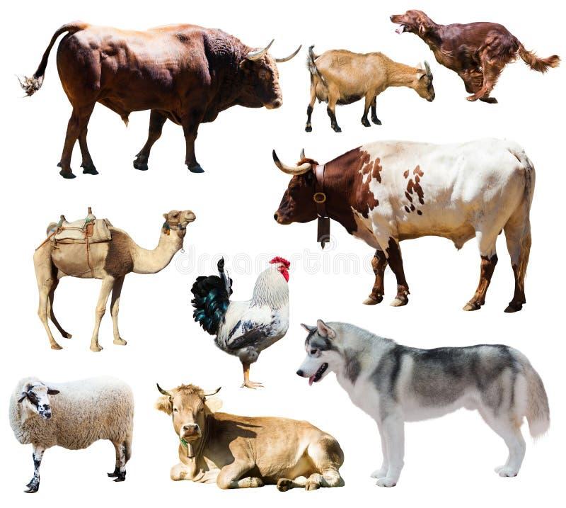Honden en andere landbouwbedrijfdieren Geïsoleerd over wit stock fotografie