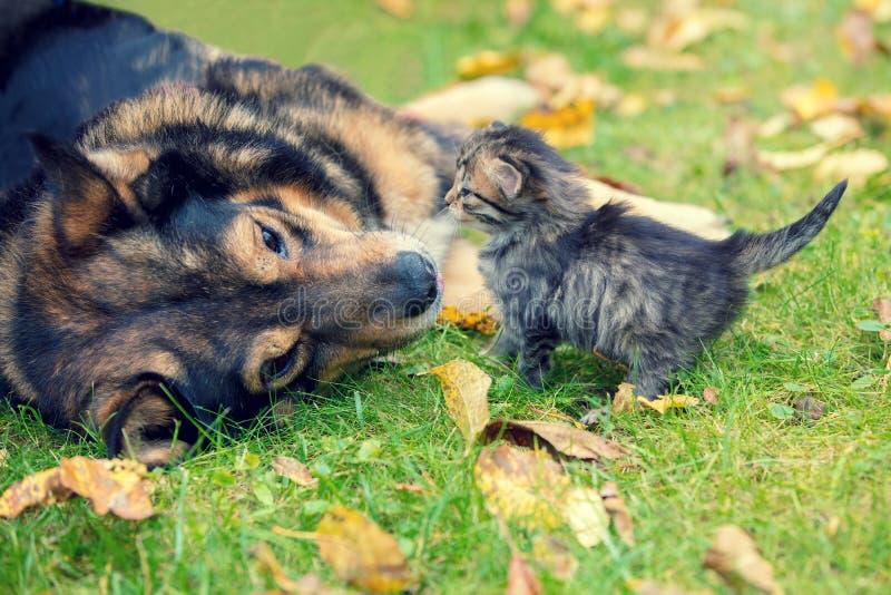 Honden en kleine katjes die samen spelen stock fotografie