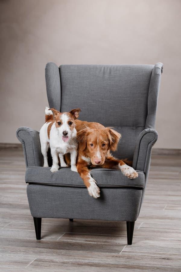 Honden Jack Russell Terrier en Hond Nova Scotia Duck Tolling Retriever stock afbeelding
