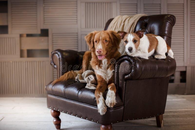 Honden Jack Russell Terrier en Nova Scotia Duck Tolling Retriever die op de leerstoel in binnenlandse zolder liggen stock afbeeldingen