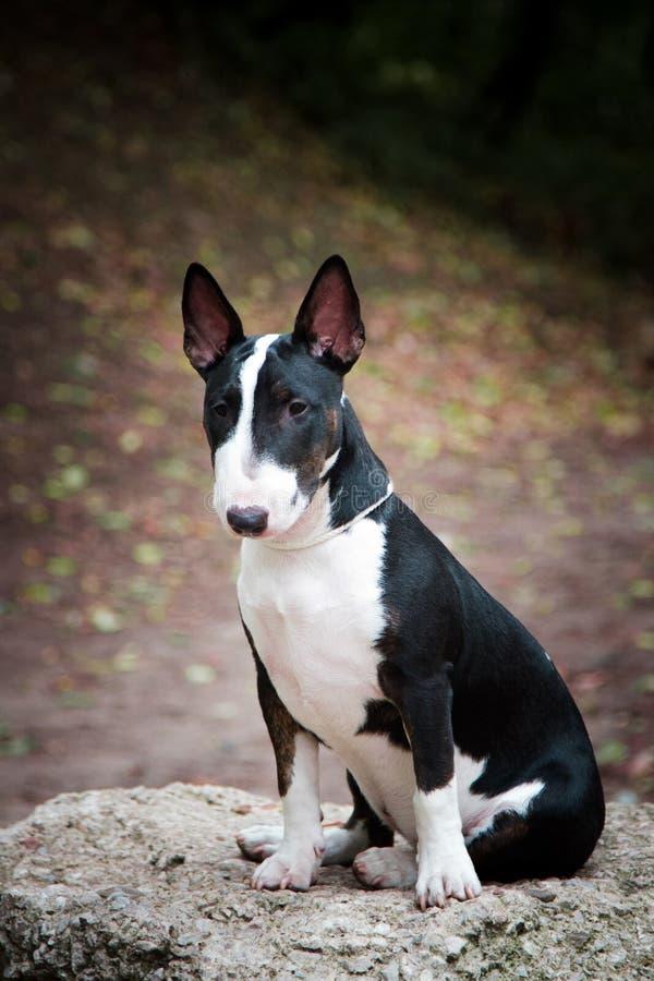 Honden kweken mini-stier doodzwart met een witte borst op een steen royalty-vrije stock fotografie