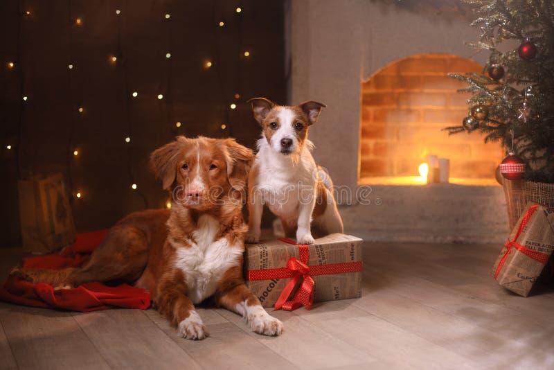 Honden Nova Scotia Duck Tolling Retriever en Jack Russell Terrier Christmas, nieuw jaar, vakantie en viering royalty-vrije stock afbeelding