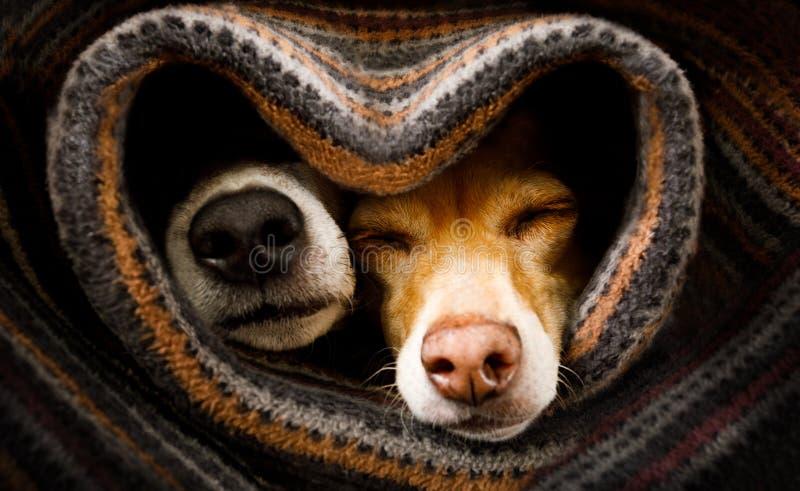 Honden onder deken samen stock afbeelding