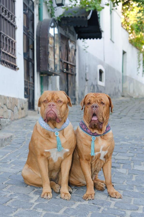 Honden op de straat stock foto's