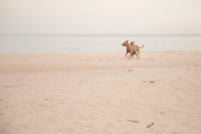 Honden op het strand stock afbeeldingen