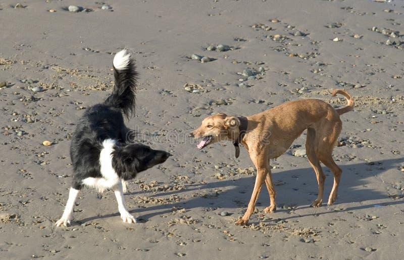 Honden op Strand stock afbeelding