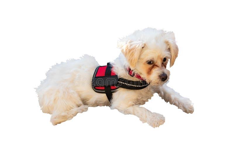 honden Portret van een mooi leuk klein wit bruin gemengd hondportret dat op een witte achtergrond wordt ge?soleerd royalty-vrije stock foto's