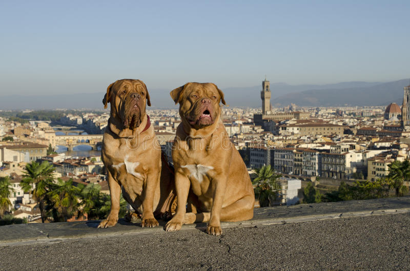 Honden tegen de stadsmening van Florence royalty-vrije stock afbeelding