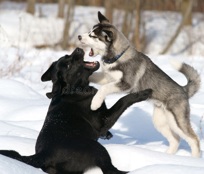 Hondengevecht stock afbeelding