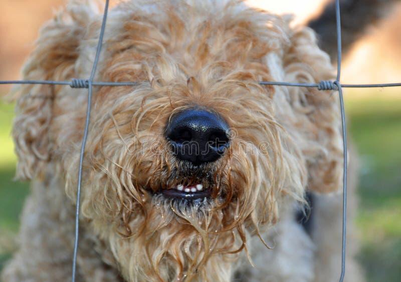 Hondenneus door omheining stock fotografie