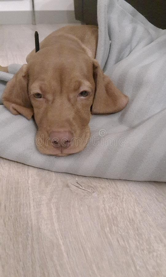 Hondensluimer stock foto