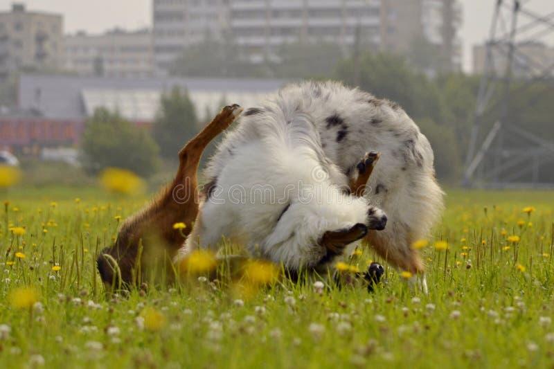 Hondenspel met elkaar Jonge Australische herdershond aussie Vrolijke druktepuppy Agressieve hond Opleiding van honden Puppy e stock fotografie
