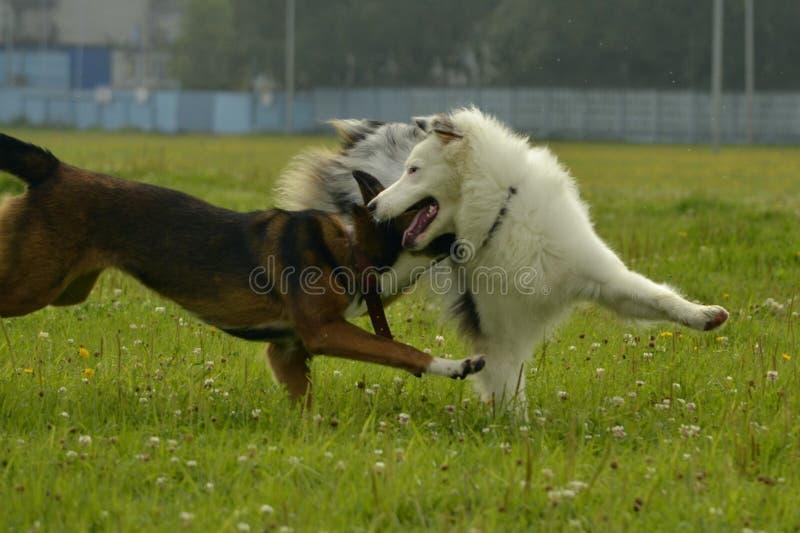 Hondenspel met elkaar Jonge Australische herdershond aussie Vrolijke druktepuppy Agressieve hond Opleiding van honden Puppy e stock afbeelding