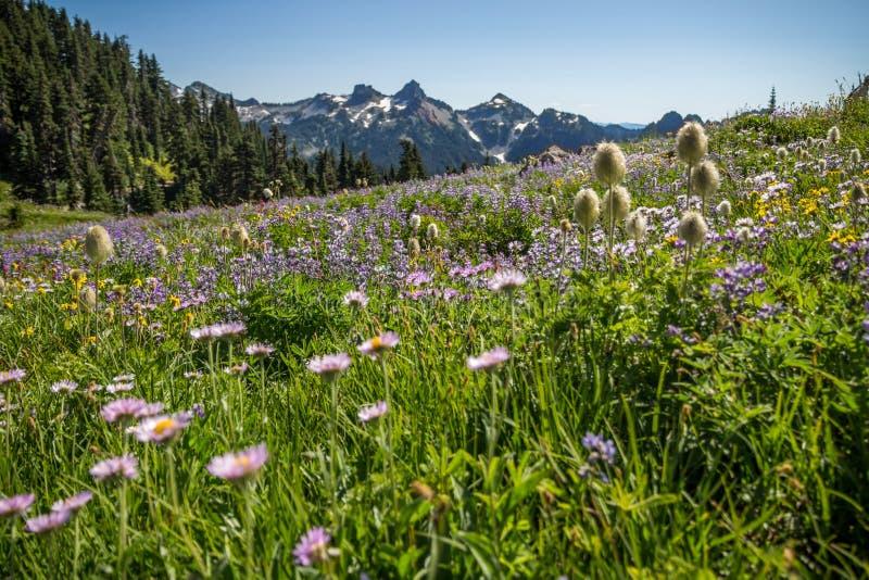 Honderden blauwe lupines, alpiene weiden, zetten Rainier National op royalty-vrije stock afbeeldingen