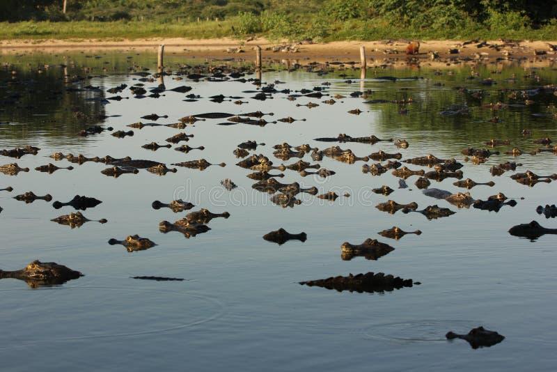 Honderden caimans in Pantanal stock afbeelding