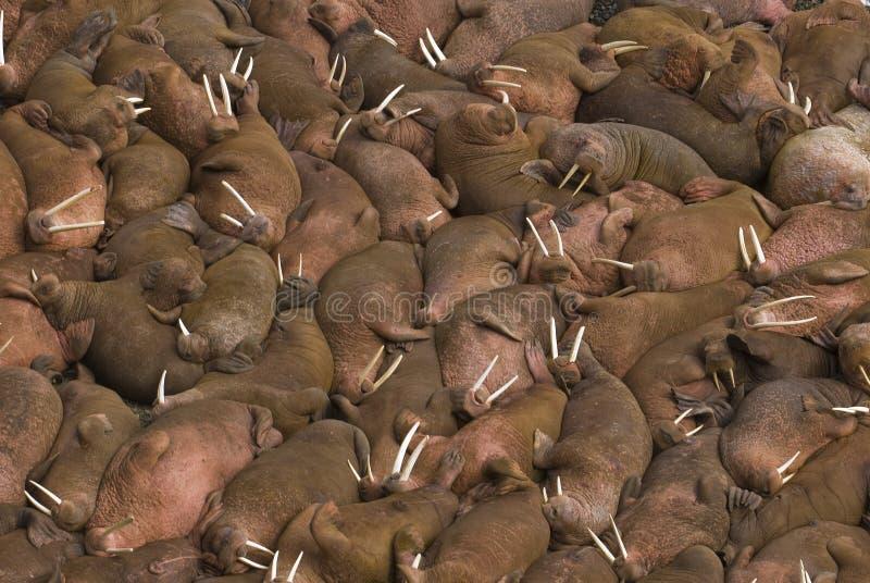 Honderden walruses op het strand bij Rond Eiland, stock foto's