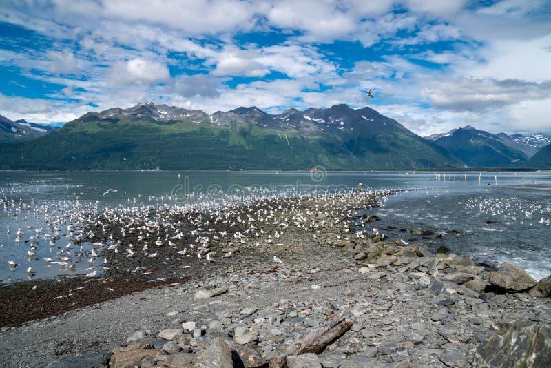 Honderden zeemeeuw die Van Alaska zoeken naar en zalm de eten bij vissenwaterkering stock fotografie
