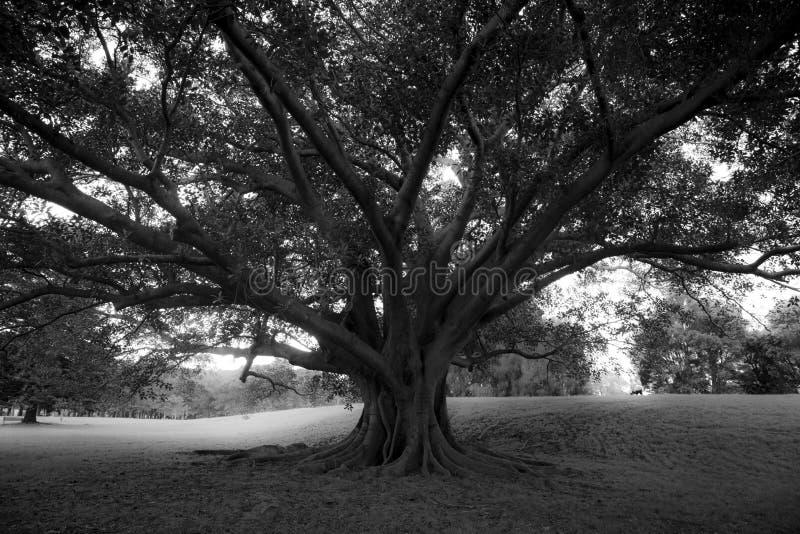 Honderdjarige boom op Honderdjarig park stock foto's