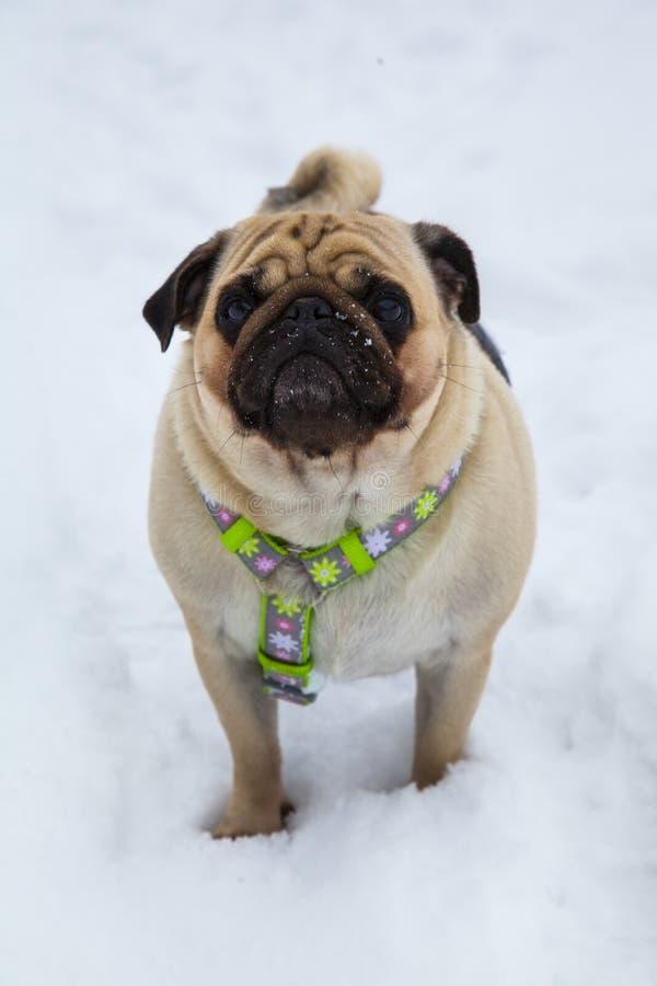 Hondgangen in de winter royalty-vrije stock afbeeldingen