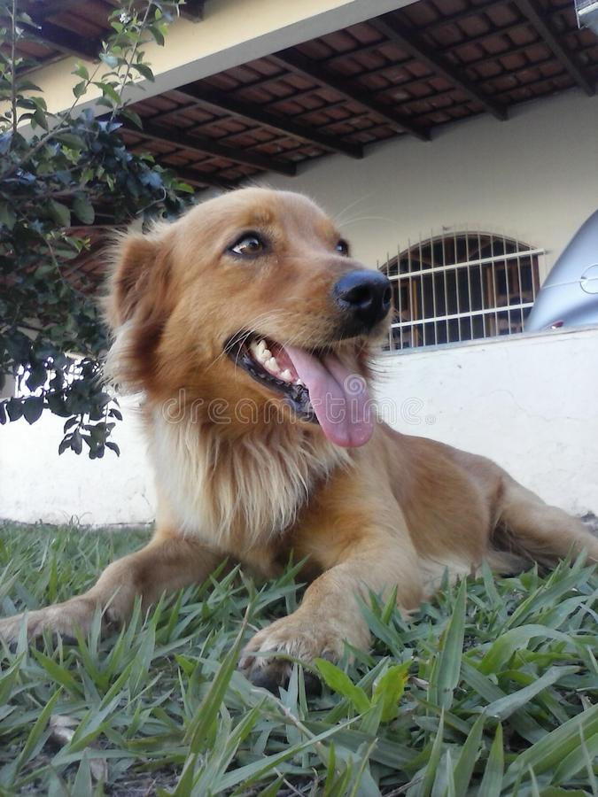 Hondgolden retriever/Cachorro-Golden retriever royalty-vrije stock afbeelding