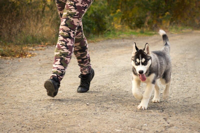 Hondpuppy van rassen Siberische Schor looppas naast zijn hoofdeigenaar langs de weg in het de herfstpark Hond opleiding en agilit royalty-vrije stock afbeeldingen