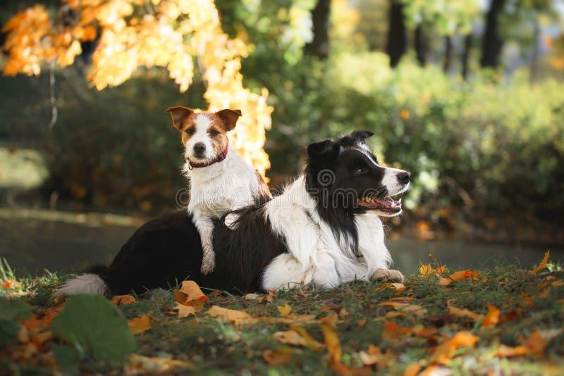 Hondras Border collie en Jack Russell Terrier stock foto's