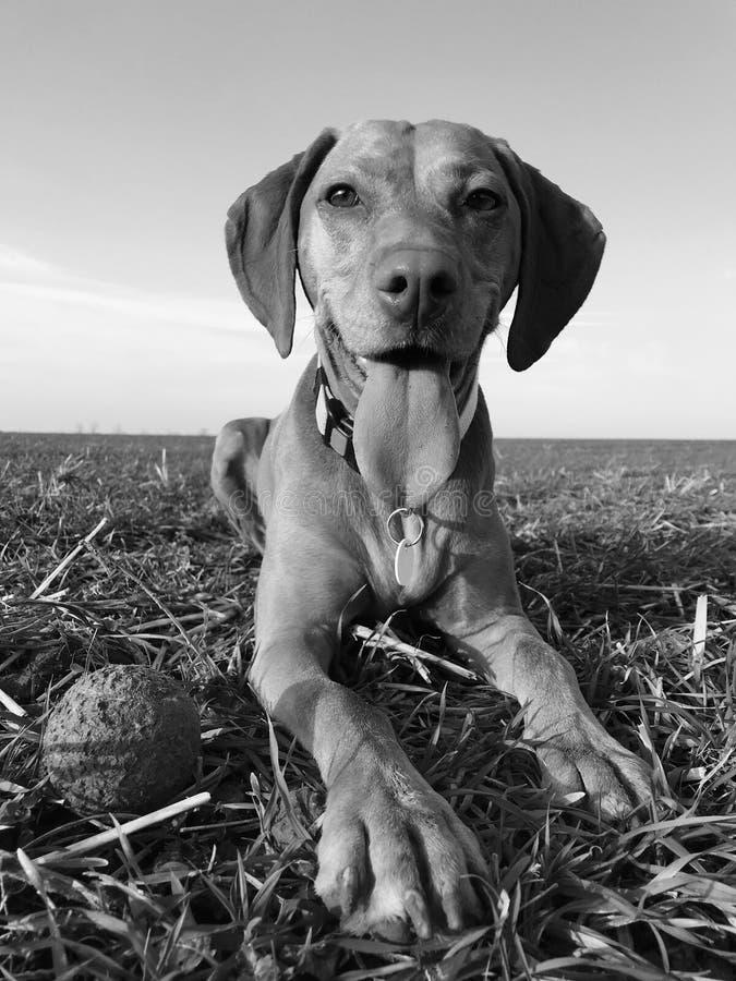 Hondspel met bal royalty-vrije stock foto's