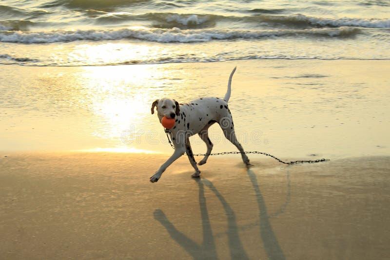 Hondspelen met een bal bij het strand stock fotografie