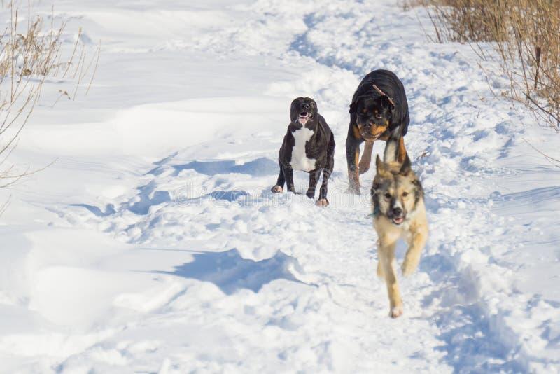 Hondstrijd in de winter royalty-vrije stock fotografie