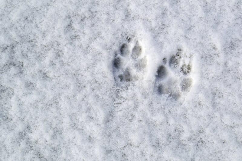 Hondvoetafdrukken in de sneeuw royalty-vrije stock foto