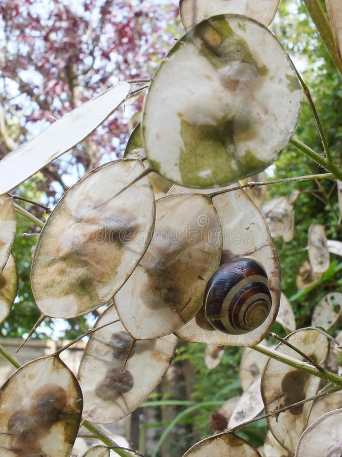 Honesty Seed Pods. A close up of some Honesty flower seed pods, one with a snail on royalty free stock photo