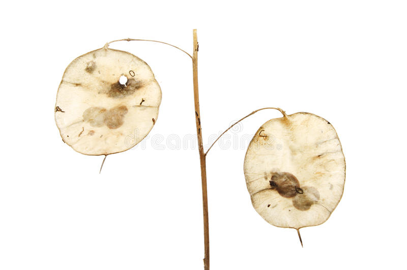 Honesty seed pods. Isolated against white stock photography