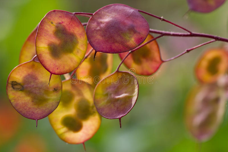 Honesty seed pods. Orange and yellow honesty seed pods in autumn colours royalty free stock photography