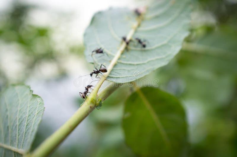 Honey Ants Aphids fotos de stock