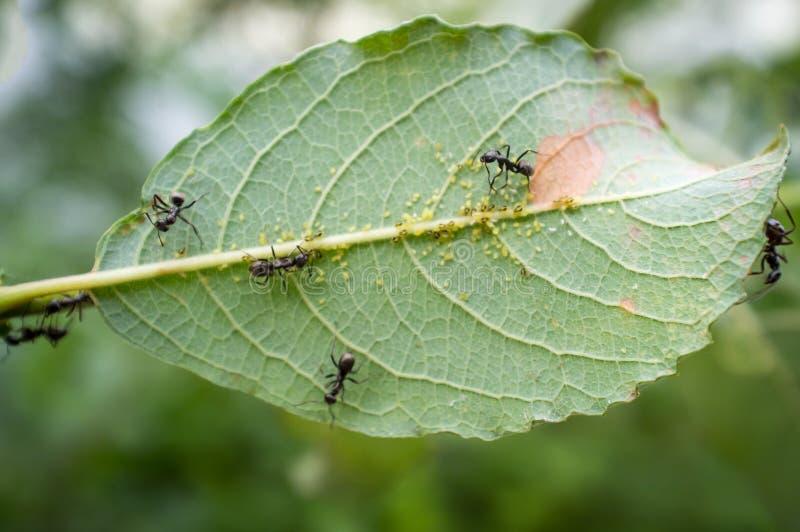 Honey Ants Aphids imagens de stock royalty free