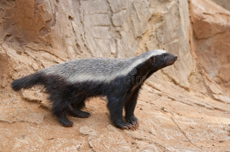 Honey badger. A honey badger (Mellivora capensis stock images