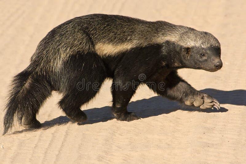Honey Badger. In the Kalahari stock photography
