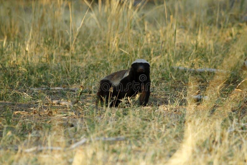 Honey Badger stock foto's
