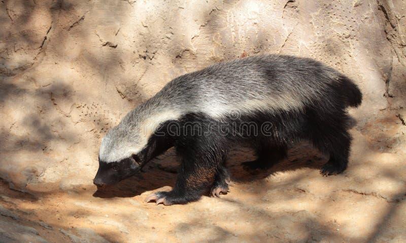 Honey Badger imagens de stock