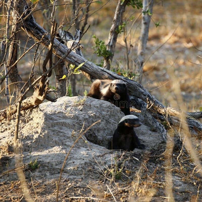 Honey Badger est des mustalidae également connus sous le nom de Ratel image libre de droits