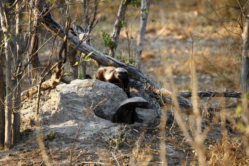 Honey Badger est des mustalidae également connus sous le nom de Ratel photo stock