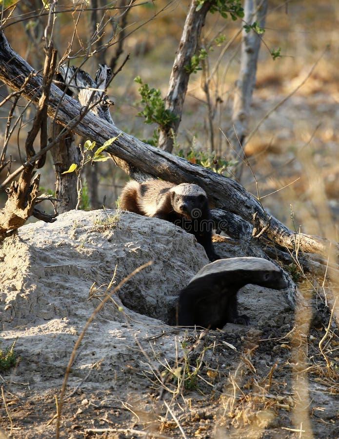 Honey Badger est des mustalidae également connus sous le nom de Ratel photographie stock